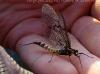 Mayfly Spinner (f), Ephemera danica (04/06/2010) - Escley