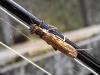 Large Stonefly (f), Perlodes microcephala (18/04/2009) - Upper Taff