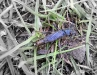 Large Stonefly (m), Perlodes microcephala (12/06/2010) - Upper Taff
