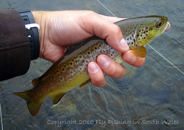 Fishing, Beer and the End of All Things Trout: One of the Rare Captures of Usk Brown Trout