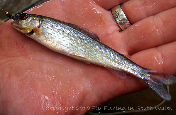 Fishing, Beer and the End of All Things Trout: Juvenile Grayling Abound
