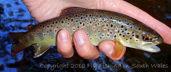 100925 - A Prime Wild Honddu Brown Trout