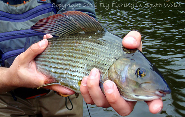 First of the Grayling - My personal beauty of the day