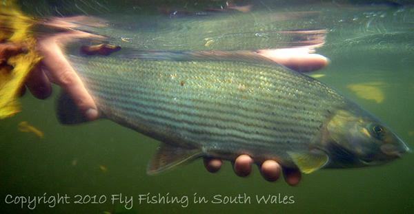 First of the Grayling - ...safely returned