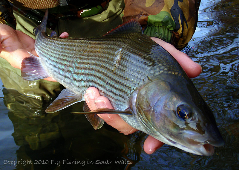 Fishing Revisited - 3lb of Taff Grayling