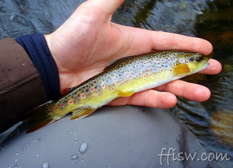 ...and good instincts are rewarded with the first brown trout of the season. Beautiful.
