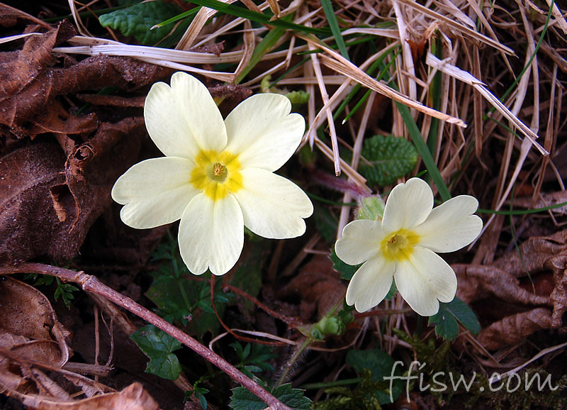 One of the early season flowers - The Primrose (Primula Vulgata)