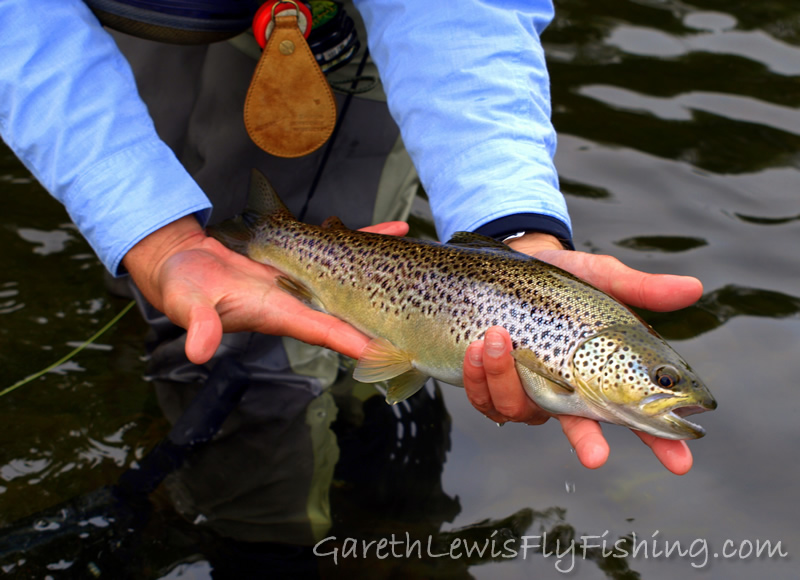 ...with a couple of healthy Usk specimens to the dry fly