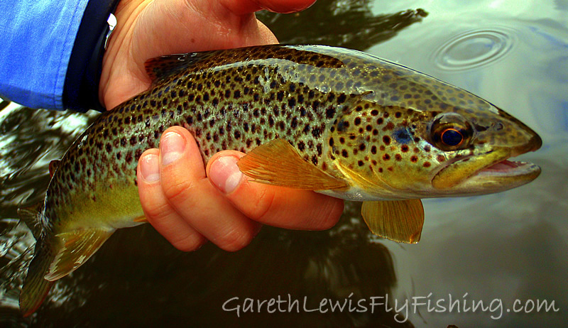 A true wild brown trout, and these Usk fish fight hard!