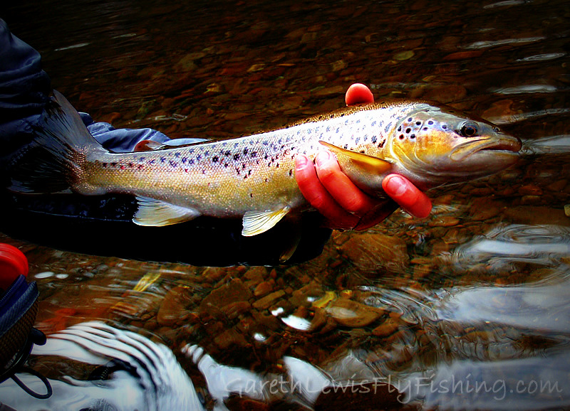 Winter Gold…19 inches of pure, wild, and pi$$ed off brown trout…