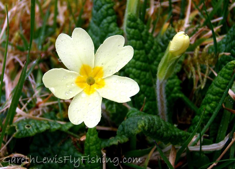 The Primrose (Primula Vulgata)