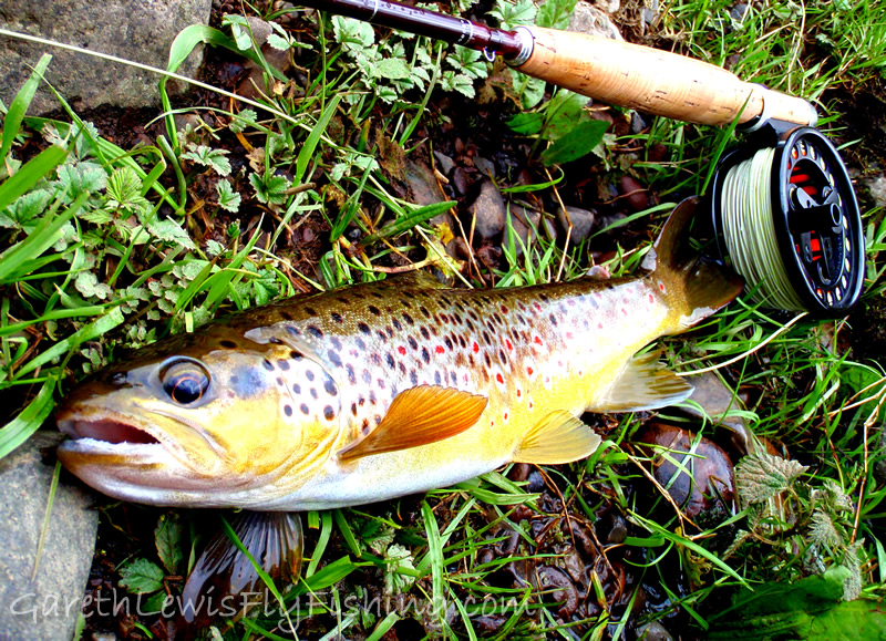 The bar of gold, a fish to remember from a small stream...