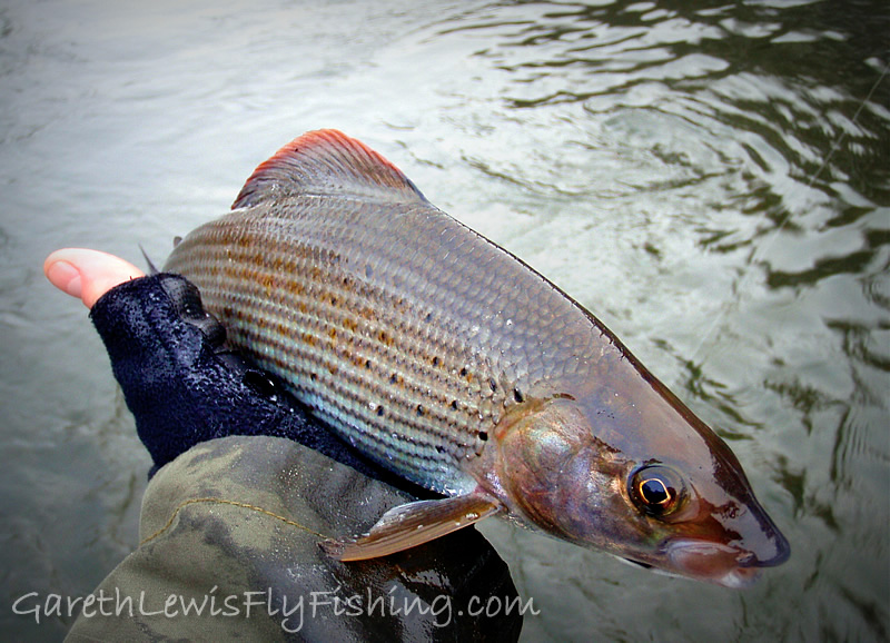 One of the dozen grayling, this one taking a pink shrimp on the middle dropper...